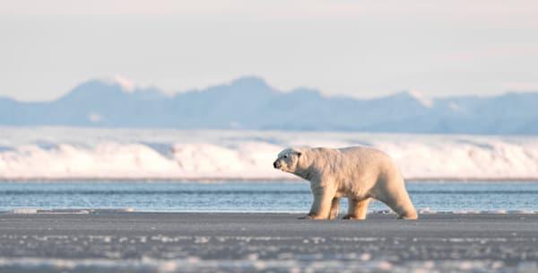 Ice Bear Hunter  Photography Art   Visual Arts & Media Group Corporation