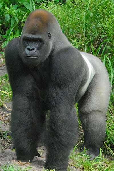 Silverback Gorilla Photography Art | RAndrews Photos