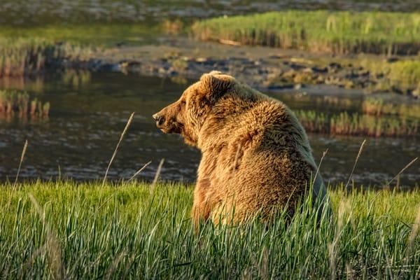 Watching The Sun Set   Coast Brown Bear 7750 Photography Art | Koral Martin Fine Art Photography