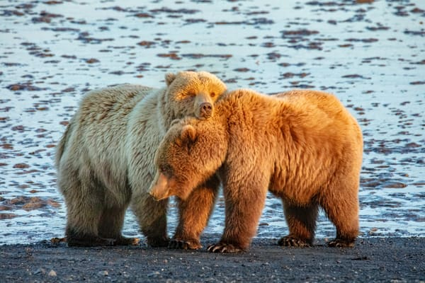 Cuddle Time   Coastal Brown Bears 7158 Photography Art | Koral Martin Fine Art Photography