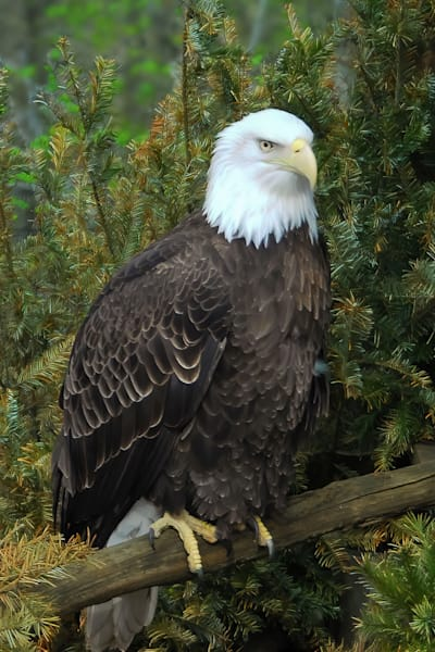 Eagle Photography Art | RAndrews Photos