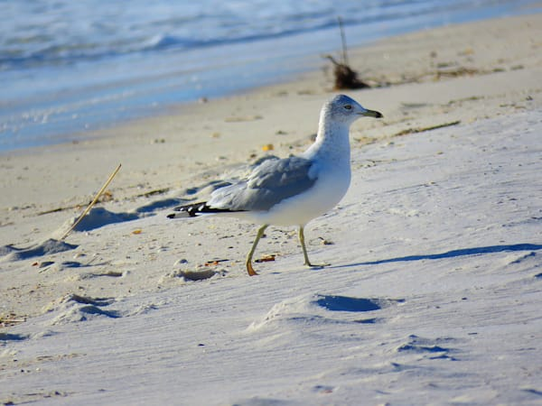 Gull At The Beach Photography Art   Lake LIfe Images
