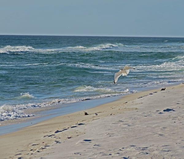 Flying Gull Photography Art   Lake LIfe Images