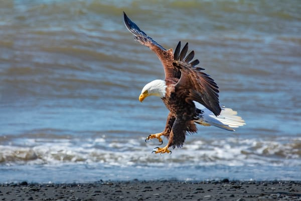 Coming In   Bald Eagle 0810 F Photography Art | Koral Martin Fine Art Photography
