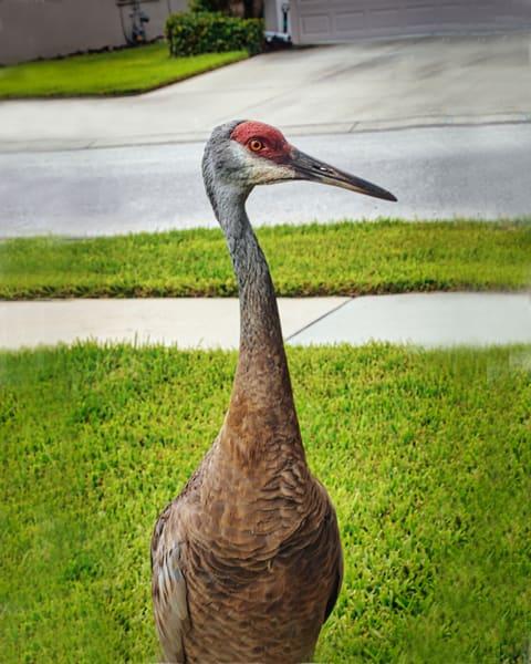 Sandhill Crane Being Curious Photography Art | It's Your World - Enjoy!