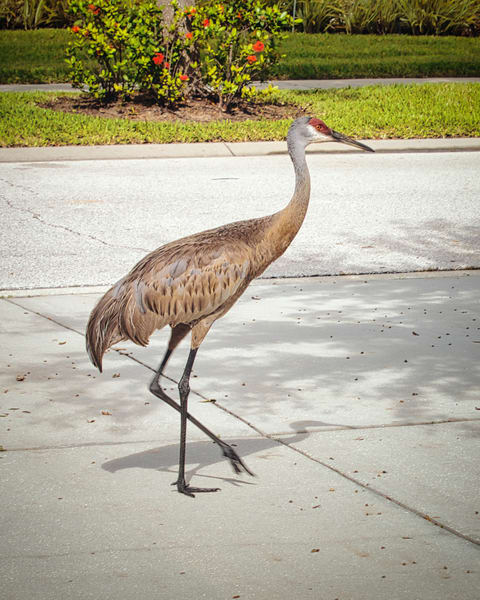 Sandhill Taking A Stroll Photography Art | It's Your World - Enjoy!