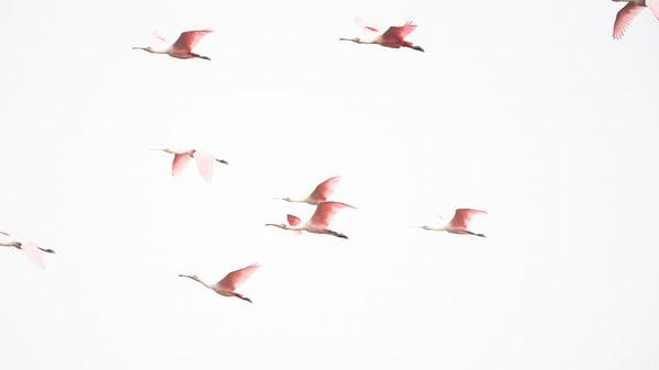 Flock Of Roseate Spoonbills Photography Art | Cuda Nature Art