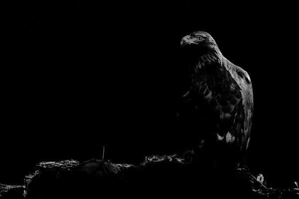 Backlit Golden Eagle Photography Art | Cuda Nature Art