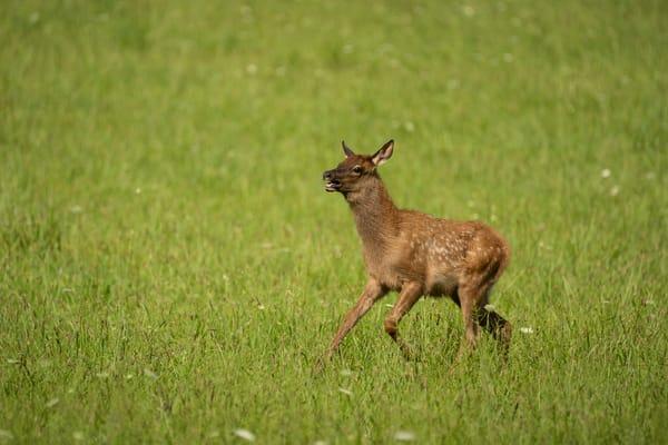 Elk Calf Running And Playing Photography Art   Cuda Nature Art