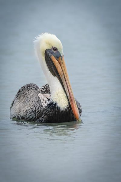 Pelican At Sebastian Inlet  Photography Art | Cuda Nature Art