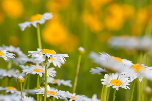Daisies  Photography Art   Cuda Nature Art