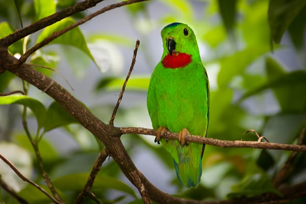 Parrots, Parakeets etc