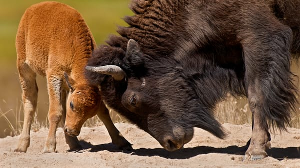 American Bison cow playing with calf