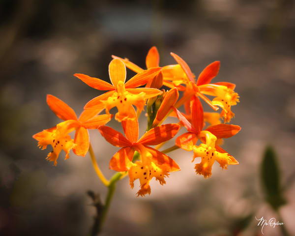 Crucifix Orchid Photography Art | It's Your World - Enjoy!