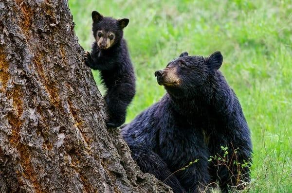 Black Bear mom adoring cub,