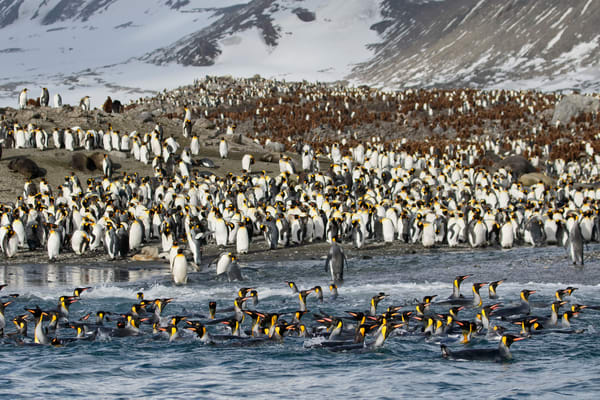 King Penguins Swimming In Front Of Beach 44 A7175 St Andrews Bay Entrance South Georgia Islands Southern Ocean Photography Art | Clemens Vanderwerf Photography
