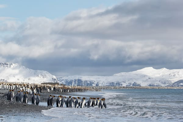 King Penguins Line Into The Water E7 T3334 Salisbury Plain Bay Of Isles South Georgia Islands Southern Ocean Photography Art | Clemens Vanderwerf Photography