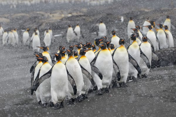 King Penguins On The Beach With Snow 44 A5579 Gold Harbour South Georgia Islands Southern Ocean Photography Art | Clemens Vanderwerf Photography