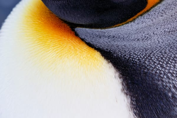 King Penguin Neck Patterns 44 A5891 Godthul South Georgia Islands Southern Ocean Photography Art | Clemens Vanderwerf Photography