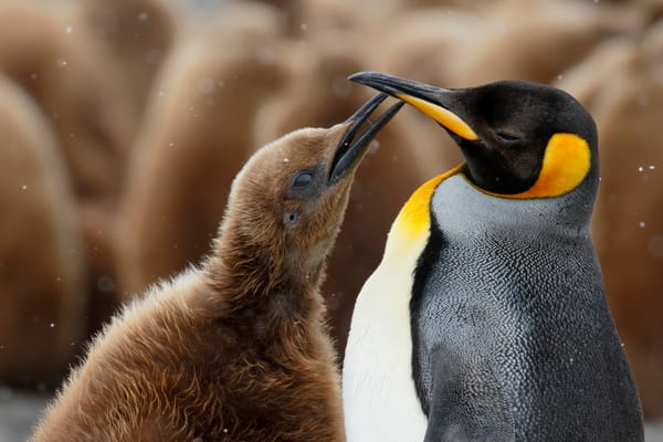 King Penguin With Begging Check 44 A6257 Fortuna Bay South Georgia Islands Southern Ocean Photography Art | Clemens Vanderwerf Photography