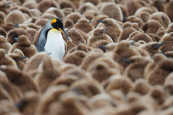 King Penguin Feeding Chick In Creche B8 R1017 Fortuna Bay South Georgia Islands Photography Art | Clemens Vanderwerf Photography