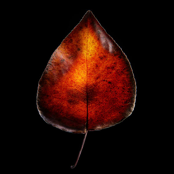 Fireleaf V7 Photography Art | Ralph Palumbo