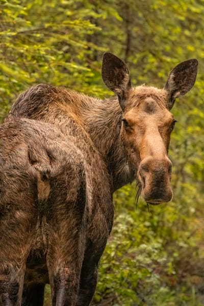 You Lookin' At Me??  Moose Cow    5902f Photography Art | Koral Martin Fine Art Photography