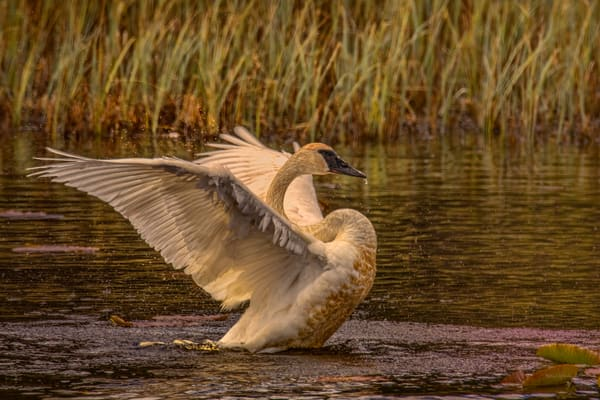 Swan Wings Water Mg 9514 Photography Art | Koral Martin Fine Art Photography