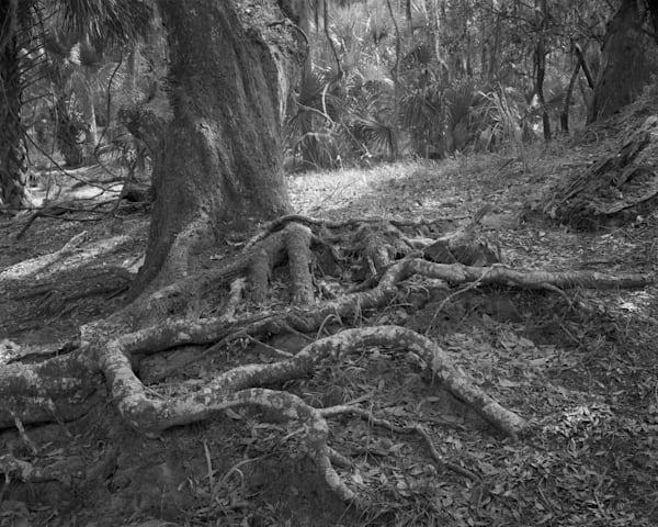 Tree Roots, Ossabaw Island, Georgia Photography Art | Rick Gardner Photography