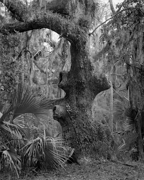 Old Oak, Mule Run Road, Ossabaw Island, Georgia Photography Art | Rick Gardner Photography