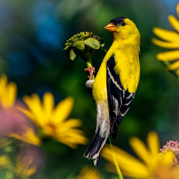 Goldfinch Square Crop