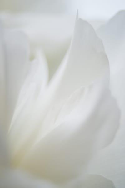 Peony flower abstract photo study