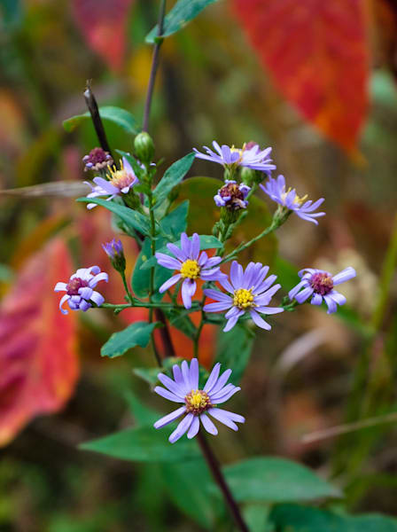 Smooth Aster wildflowers, Spruce Woods, Manitoba