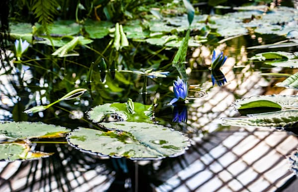 Lily pond reflections, Conservatory of Flowers, San Francisco
