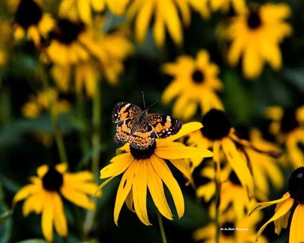 Butterfly And Black Eyed Susans Photography Art | N2 the Woods Photography - Nature and Wildlife Artwork