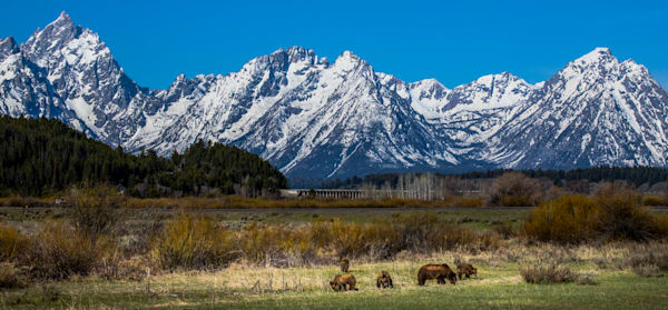 399 Grizzly and Cubs In Grand Teton