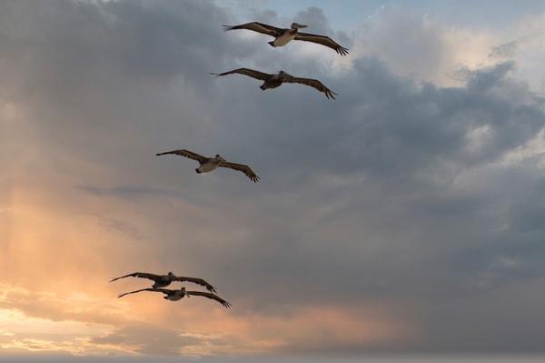 Five Pelicans Photography Art | Kathleen Messmer Photography