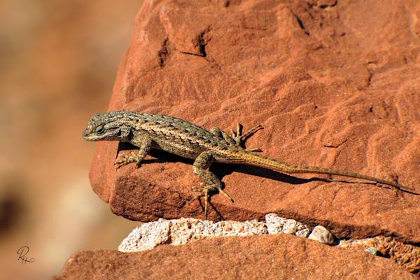 Plateau Lizard: Fine Art | Lion's Gate Photography