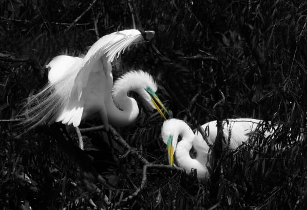 great white egret with mating colors