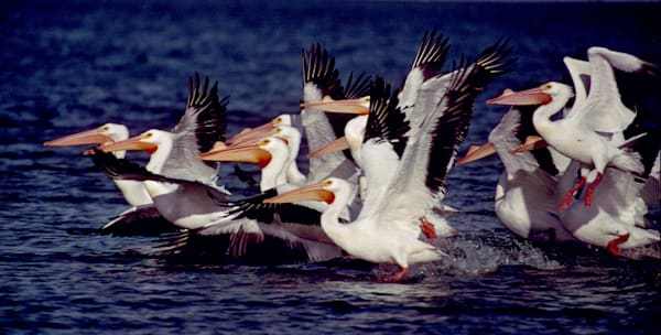 Great White Pelicans Taking Off For Flight Photography Art | Ruth Burke Art