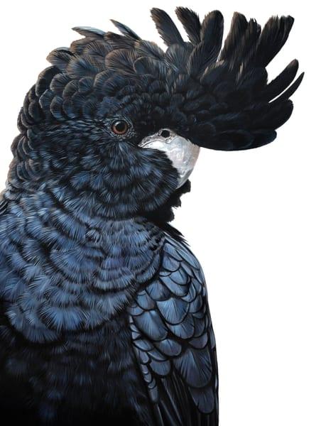 Carlton - Red-tailed Black Cockatoo