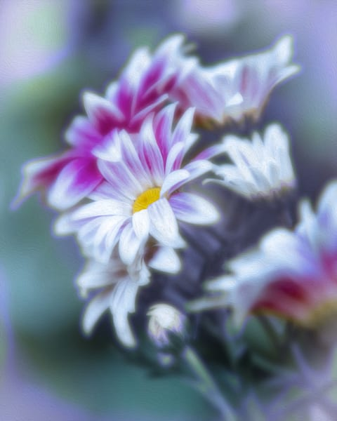 Pink and White Daisy