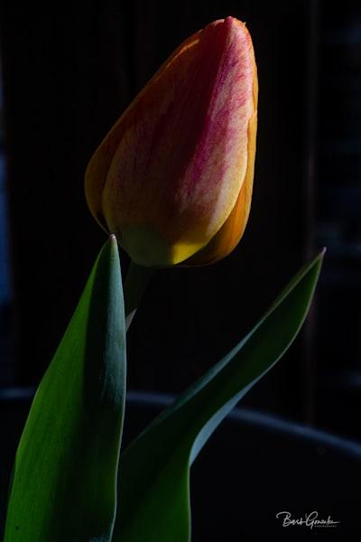 Darkyellowtulip Photography Art | Barb Gonzalez Photography