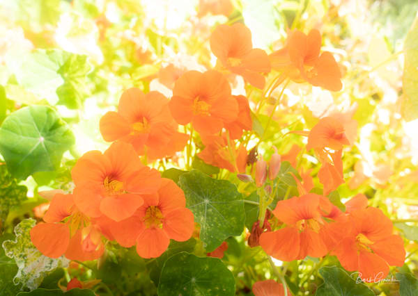 Happy orange nasturtium flowers photo by Barb Gonzalez Photography