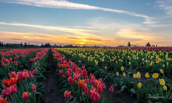 Sunsettulipshigher Photography Art | Barb Gonzalez Photography