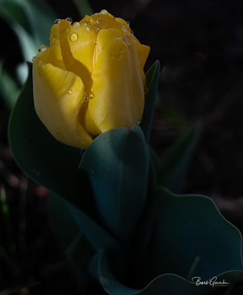Yellowtulipafterrain Photography Art | Barb Gonzalez Photography