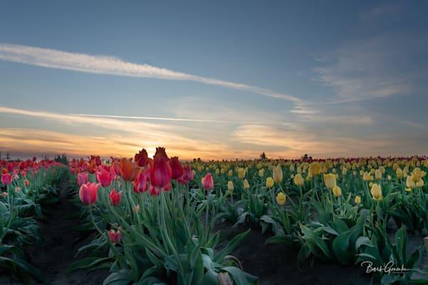 Sunsettulipslow Photography Art | Barb Gonzalez Photography