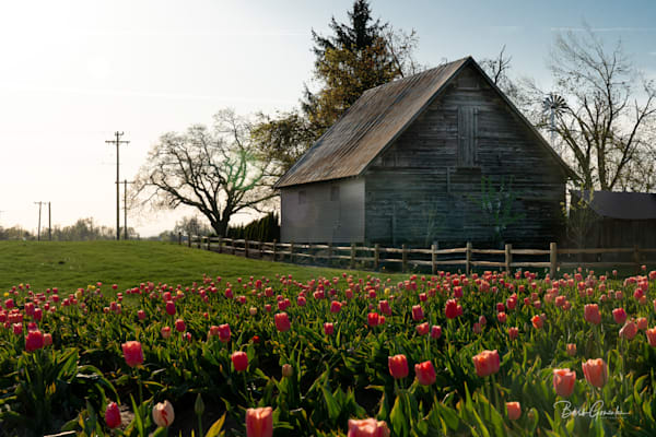 Barn And Tulips Photography Art | Barb Gonzalez Photography