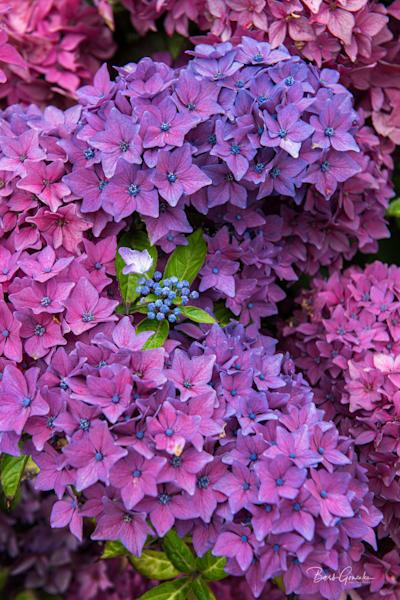 Purplehydrangeas Photography Art | Barb Gonzalez Photography