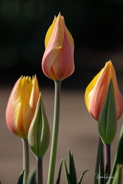 Orangetulips Photography Art | Barb Gonzalez Photography